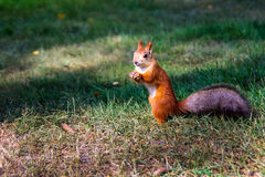 Siberian red squirrel Stock Photo