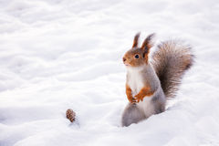 Siberian red squirrel in the winter woods in search of food Stock Photos