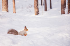 Siberian red squirrel in the winter woods in search of food Stock Photo