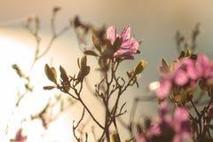 Siberian rhododendron royaltyfria bilder