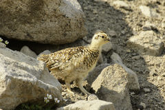 Siberian rock ptarmigan (Lagopus mutus). Stock Images