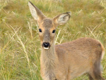 Siberian roe deer Stock Photography