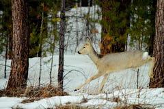 Siberian roe deer. Lives in steepe region Altaya Stock Photo