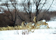 Siberian roe deers. By springtime live on edge of a forest wood Royalty Free Stock Images
