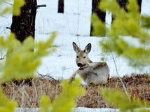 Siberian roe deers Stock Image
