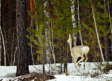 Siberian roe deers Royalty Free Stock Photo