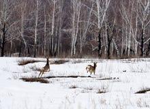 Siberian roe deers Royalty Free Stock Image