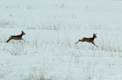 Siberian roe deers Royalty Free Stock Images