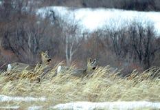 Siberian roe deers Stock Photography