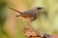 Siberian Rubythroat Stock Images
