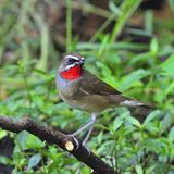 Siberian Rubythroat. Beautiful brown bird, male Siberian Rubythroat (Luscinia calliope), standing on a branch, breast profile Royalty Free Stock Images