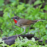 Siberian Rubythroat. Beautiful brown bird, male Siberian Rubythroat (Luscinia calliope), standing on the log Royalty Free Stock Photos