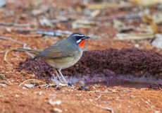 Siberian Rubythroat. Beautiful male Siberian Rubythroat (Luscinia calliope) standing on ground Royalty Free Stock Image