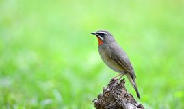 Siberian Rubythroat Royalty Free Stock Image