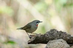 Siberian Rubythroat bird luscinia Sibilans. In nature Thailand Royalty Free Stock Images