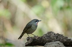 Siberian Rubythroat bird luscinia Sibilans. In nature Thailand Stock Images