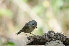Siberian Rubythroat bird luscinia Sibilans. In nature Thailand Stock Photography