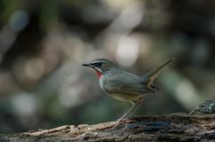 Siberian Rubythroat bird luscinia Sibilans. In nature Thailand Stock Photo