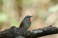Siberian Rubythroat bird luscinia Sibilans. In nature Thailand Stock Image