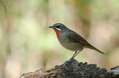 Siberian Rubythroat bird luscinia Sibilans. In nature Thailand Stock Photo