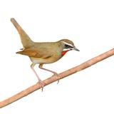 Siberian Rubythroat bird. (luscinia Sibilans) perching on a branch Stock Photo