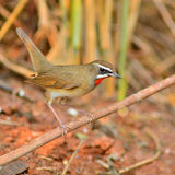 Siberian Rubythroat bird. (luscinia Sibilans) perching on a branch Royalty Free Stock Photography