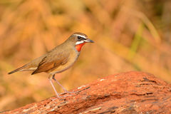 Siberian Rubythroat bird. (luscinia Sibilans) showing its red throat feathers Royalty Free Stock Photography