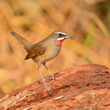 Siberian Rubythroat bird. (luscinia Sibilans) showing its red throat feathers Royalty Free Stock Image