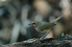 Siberian Rubythroat bird luscinia Sibilans. In nature Thailand Stock Photography