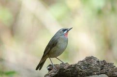 Siberian Rubythroat bird luscinia Sibilans. In nature Thailand Royalty Free Stock Photos