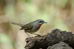 Siberian Rubythroat bird luscinia Sibilans. In nature Thailand Royalty Free Stock Photography