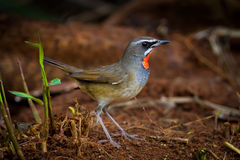 Siberian Rubythroat (Calliope calliope). On the ground in nature of Thailand Royalty Free Stock Photography