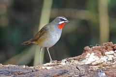 Siberian Rubythroat Calliope calliope Male Birds of Thailand. Siberian Rubythroat Calliope calliope Male Bird of Thailand Stock Image