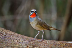 Siberian Rubythroat (Calliope calliope). On the wood in nature of Thailand Royalty Free Stock Photos