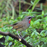 Siberian Rubythroat. Colorful brown bird, male Siberian Rubythroat (Luscinia calliope), standing on a branch, side profile Stock Images