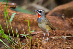 Of Siberian Rubythroat. Left side of Siberian Rubythroat on the ground in narture Stock Photos