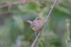 The Siberian rubythroat. (Luscinia calliope) is a small passerine bird that was formerly classed as a member of the thrush family Turdidae Royalty Free Stock Photo