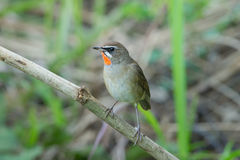 The Siberian rubythroat. (Luscinia calliope) is a small passerine bird that was formerly classed as a member of the thrush family Turdidae Stock Images