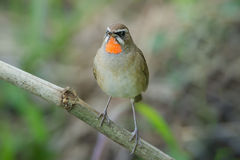 The Siberian rubythroat. (Luscinia calliope) is a small passerine bird that was formerly classed as a member of the thrush family Turdidae Stock Image