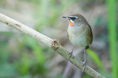 The Siberian rubythroat. (Luscinia calliope) is a small passerine bird that was formerly classed as a member of the thrush family Turdidae Stock Photo