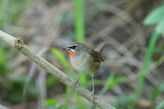 The Siberian rubythroat. (Luscinia calliope) is a small passerine bird that was formerly classed as a member of the thrush family Turdidae Stock Photography