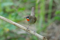 The Siberian rubythroat. (Luscinia calliope) is a small passerine bird that was formerly classed as a member of the thrush family Turdidae Royalty Free Stock Photography