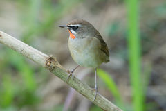 The Siberian rubythroat. (Luscinia calliope) is a small passerine bird that was formerly classed as a member of the thrush family Turdidae Royalty Free Stock Photos