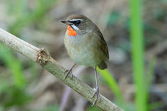 The Siberian rubythroat. (Luscinia calliope) is a small passerine bird that was formerly classed as a member of the thrush family Turdidae Stock Photos