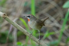 The Siberian rubythroat. (Luscinia calliope) is a small passerine bird that was formerly classed as a member of the thrush family Turdidae Royalty Free Stock Image
