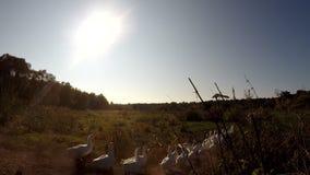 Siberian Rubythroat stock video