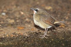 Siberian rubythroat. In the ground Stock Image