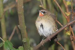 Siberian rubythroat. Sitting on the branch Stock Image