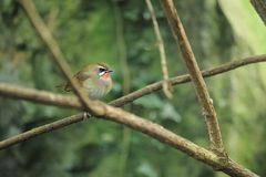 Siberian rubythroat Royalty Free Stock Photo