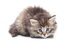 Siberian sad kitten Stock Photography
